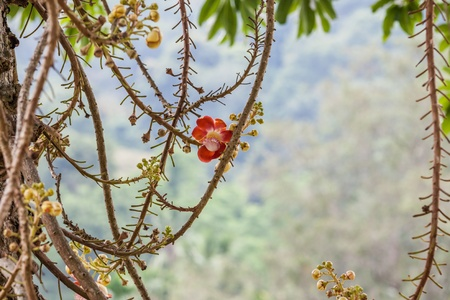 cannonball: The Cannonball Tree Red Flower, Couroupita guianensis