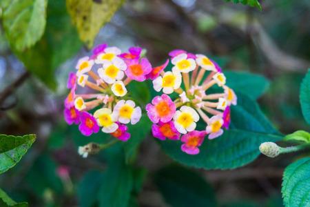 lantana: Close up view of Lantana Camara or known as tickberry