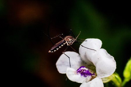 Close up view of real mosquito indicating dangerous of Aedes, Malaria and Zika disease Stock Photo
