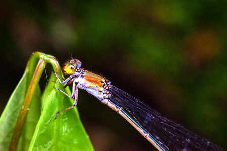 Close up view of real dragonfly for insects macro photography commercial
