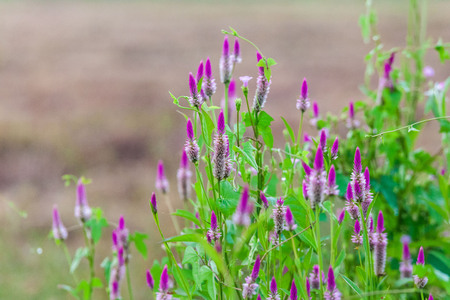Pink flower Obedient Plant alike or better known as Physostegia Virginiana for blur background Stock Photo