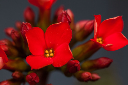 Four red petal flower Kalanchoe Flower tropical succulent plant or better known as Widows-thrill Stock Photo