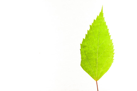Green leaves with isolated white background for medical conceptual and text adding commercial