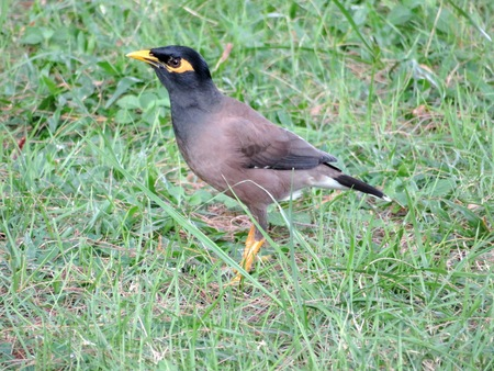 common myna bird: Real brown myna (Mynah) bird or known as Acridotheres tristis in close view Stock Photo