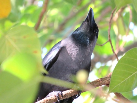 Real American Raven Crow or known as Corvus brachyrhynchos in close view
