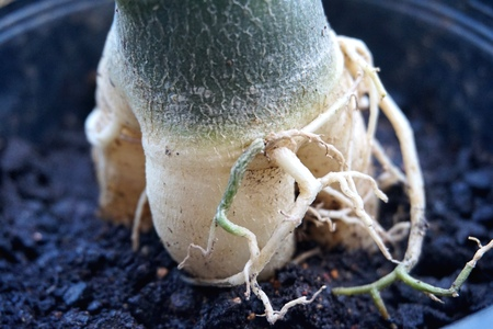 Close view of Adenium root for home gardening Stock Photo