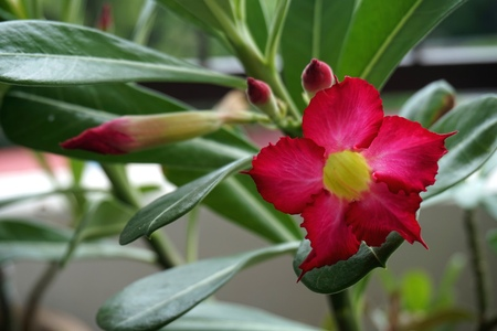Close view of Red Adenium for home gardening