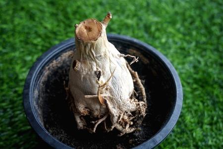 Close view of rotten root of Adenium plant