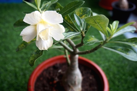 Close view of white yellow Adenium for home gardening