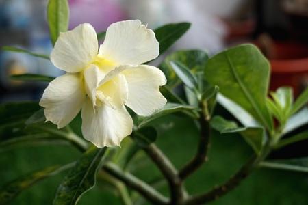 Close view of white yellow Adenium for home gardening