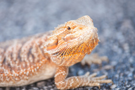 Real dragon lizard portrait view in close up with blur background Stock Photo
