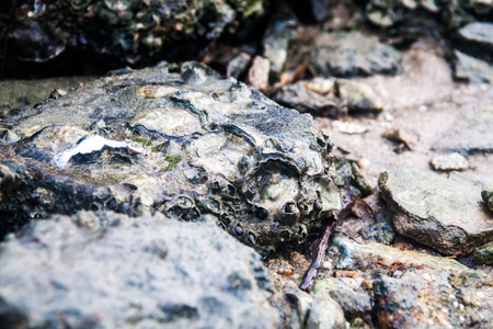 Close of view of real oyster on top muddy rock by the shore Stockfoto - 122904555