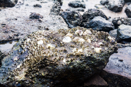 Close of view of real oyster on top muddy rock by the shore Stockfoto - 122927131