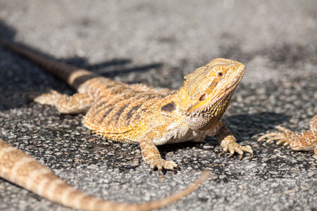 Real dragon lizard portrait view in close up with blur background Stockfoto