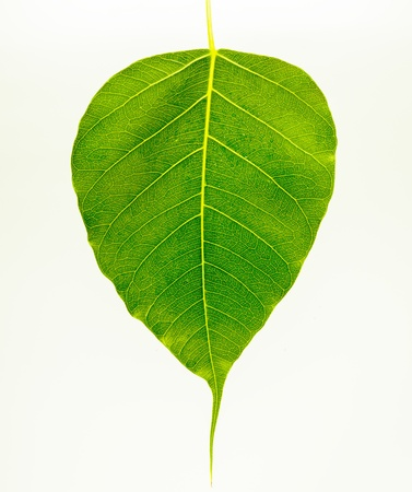 Bodhi leaf photo