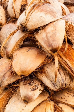 fibrous: Dried coconut peels in plantation