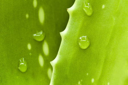 Fresh aloe leaf with water drop