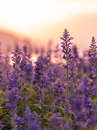 Violet lavender field background on sunset.