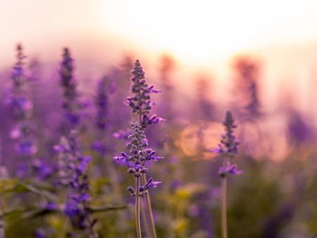 lavanda: Violeta fondo del campo de lavanda en la puesta del sol.