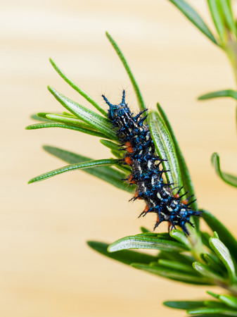 insecticidal: Rosemary  -The plant for anti worm . Stock Photo
