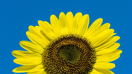 environmen: The blooming sunflowers on summer .