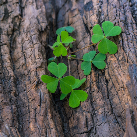 bonanza: Closeup clover leaf on wooden background. Stock Photo