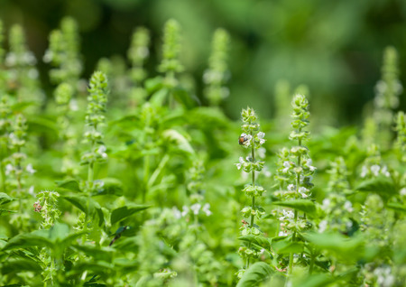 The basil field with flowers herb for aromatherapy . photo