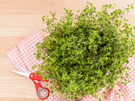 culinary: Alternative mediterranean medicinal plants lemon thyme for medicinal and culinary use on wooden background.