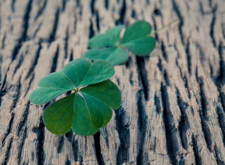 clovers: Closeup clovers leaves  setup on wooden background.