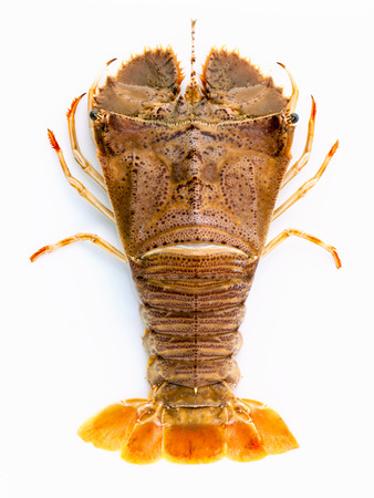 Flathead lobster, Lobster Moreton Bay bug, Oriental flathead lobster isolate on white background. 免版税图像