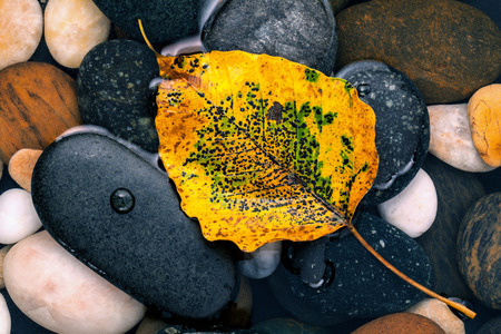buddhist meditation: The yellow bodhi  leaves falling on river stone zen , peaceful, meditation concepts .