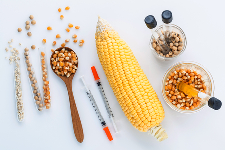 genetically modified crops: Dangerous food from  laboratory agricultural grains and corn with laboratory tools isolated on white background GMO food concept.