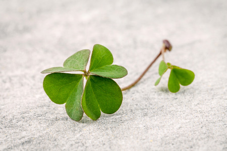 luckiness: Closeup clovers leaves  on Stone background. The symbolic of the Four Leaf Clover the first is for faith, the second is for hope, the third is for love, and the fourth is for luck. Clover and shamrocks is symbolic dreams .