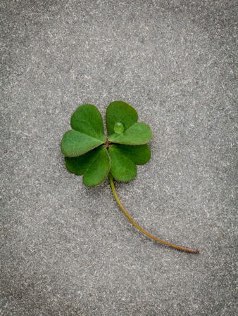 luckiness: Clovers leaves on Stone Background.The symbolic of Four Leaf Clover the first is for faith, the second is for hope, the third is for love, and the fourth is for luck. Shamrocks is symbolic dreams .