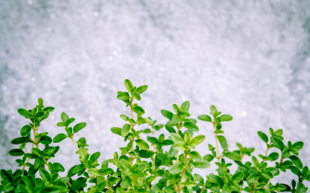 thymus: Closeup lemon thyme leaves from the herb garden. Thymus citriodorus (Lemon thyme or Citrus thyme) species of flowering plant in the family Lamiaceae.