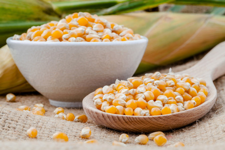 Grains of dried corn in the wooden spoon with dried sweet corn on hemp sacks background