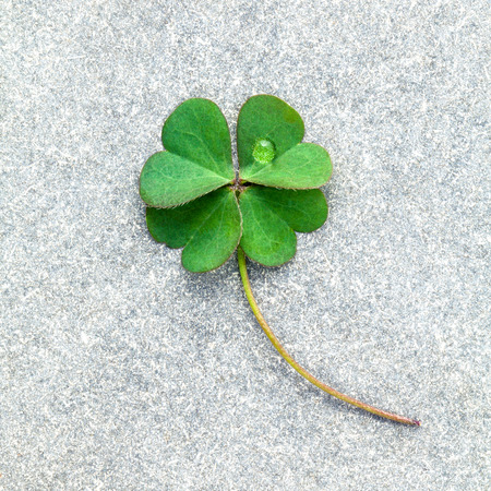 luckiness: Clovers leaves on Stone