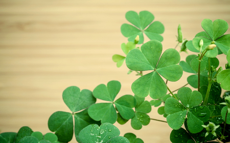 luckiness: Close up Clovers leaves for background Stock Photo