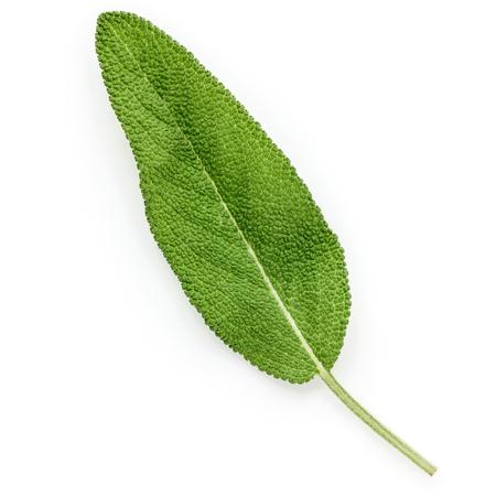 Closeup of single fresh sage leaf isolated on white background