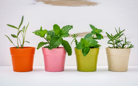 Various kinds of colorful potted garden herbs with white shabby wooden background. Green mint ,peppermint ,sage and rosemary planted in pots.