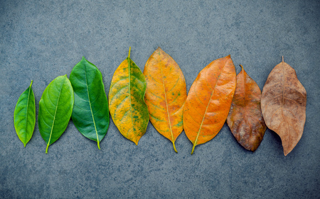 anti season: Leaves of different age of jack fruit tree on dark stone background. Ageing  and seasonal concept colorful leaves with flat lay and copy space.