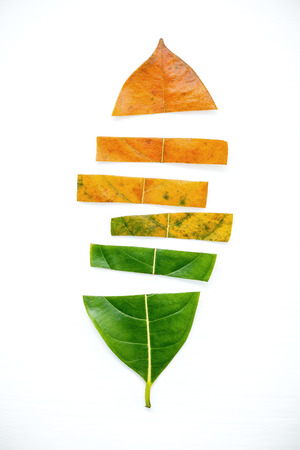 Leaves of different age of jack fruit tree on white wooden background. Ageing  and seasonal concept colorful leaves with flat lay and copy space.