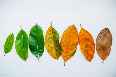 Foglie di diversa età di albero di frutta jack su sfondo bianco in legno. Foglie d'autunno e stagione foglie colorate con spazio pianeggiante e copia.