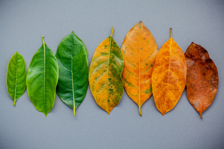 Leaves of different age of jack fruit tree on gray background. Ageing  and seasonal concept colorful leaves with flat lay and copy space.
