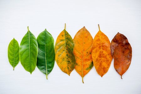 Leaves of different age of jack fruit tree on white background. Ageing  and seasonal concept colorful leaves with flat lay and copy space. Stock Photo