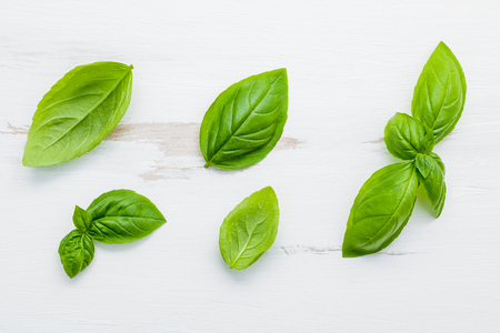 Fresh sweet green basil leaves on  white shabby wooden background. Sweet basil leaves with flat lay . Banco de Imagens - 99622386