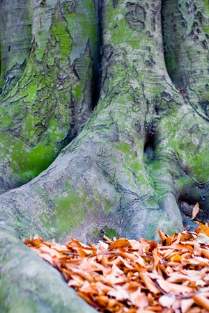 tree with big roots in autumn with golden leaves
