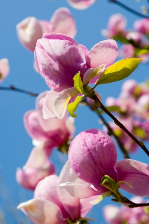 Spring Blossoms of a Magnolia on clear sky background