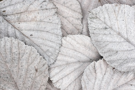 white autumn leaves Stock Photo
