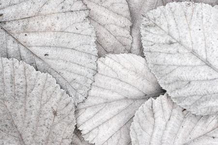 white autumn leaves photo